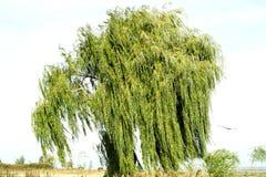 在天空背景的古老柳树 图库摄影
