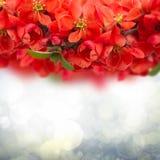 在天空背景的开花的李子花 免版税库存图片