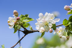 在天空背景的开花的苹果树花 免版税库存图片
