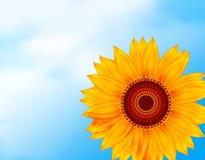 在天空背景的明亮的新鲜的向日葵 免版税图库摄影