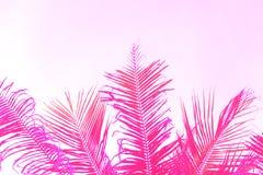 在天空背景的明亮的桃红色椰子树树叶子 棕榈桃红色定了调子照片 免版税库存图片