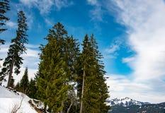 在天空背景的美丽的杉树 库存图片