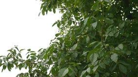 在天空背景的美丽的树 股票视频
