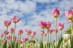 在天空背景的美丽的桃红色郁金香 免版税库存照片