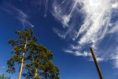 在天空背景的落叶松属 库存图片