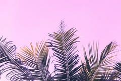 在天空背景的蓬松椰子树树叶子 棕榈桃红色定了调子照片 免版税库存图片