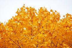 在天空背景的金黄秋天槭树 免版税库存照片