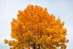 在天空背景的金黄秋天槭树 免版税库存图片