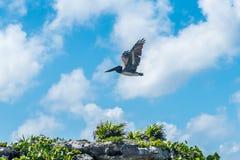 在天空背景的鹈鹕飞行 免版税库存照片
