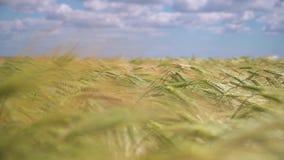 在天空背景的麦子 股票视频