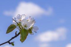 在天空背景的年轻开花的苹果树与阳光 免版税库存图片