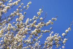 在天空背景的年轻开花的苹果树与阳光 库存照片