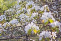 在天空背景的年轻开花的苹果树与阳光 免版税库存照片