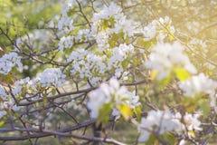 在天空背景的年轻开花的苹果树与阳光 免版税图库摄影