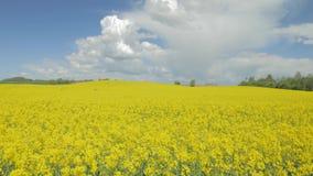 在天空蔚蓝下的开花的油菜油菜籽领域 股票录像