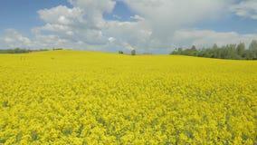 在天空蔚蓝下的开花的油菜油菜籽领域 股票视频