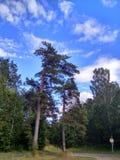 在天空蔚蓝下的美丽的树在俄罗斯在夏天 免版税库存照片