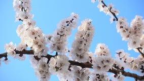 ?? 在天空蔚蓝下的美丽的桃红色用花装饰的果树 股票视频