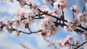 ?? 在天空蔚蓝下的美丽的桃红色用花装饰的果树 股票录像