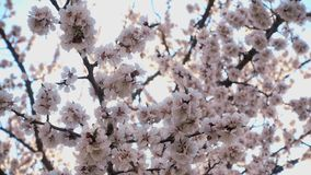 ?? 在天空蔚蓝下的美丽的桃红色用花装饰的果树 影视素材