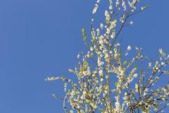 在天空蔚蓝前的白色开花的装饰樱桃分支 库存照片