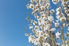 在天空蔚蓝前的白色开花的装饰樱桃分支 库存图片