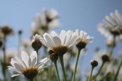 在天空蔚蓝前面的延命菊 免版税图库摄影
