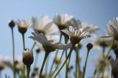 在天空蔚蓝前面的延命菊 免版税库存图片
