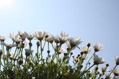 在天空蔚蓝前面的延命菊 免版税库存照片