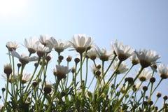 在天空蔚蓝前面的延命菊 库存照片