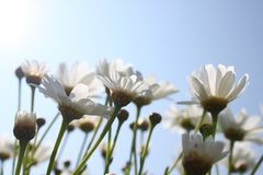 在天空蔚蓝前面的延命菊 库存图片
