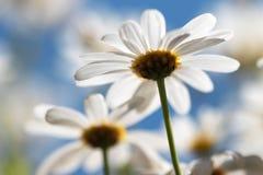 在天空蔚蓝前面的戴西延命菊 免版税图库摄影