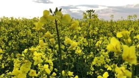 在天空蔚蓝和绿草的黄色含油种子强奸 春天在诺福克,英国 含油种子的黄色花 股票视频