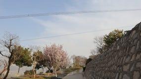 在天空蔚蓝的樱花足迹 免版税库存图片