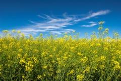 在天空蔚蓝的油菜籽 库存图片