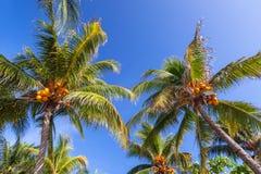 在天空蔚蓝的热带可可椰子树 库存图片