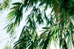 在天空蔚蓝的竹叶子 库存照片
