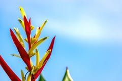 在天空蔚蓝的红色埃利孔亚花 图库摄影