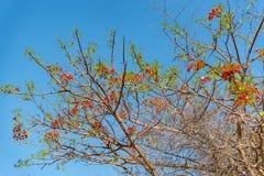 在天空蔚蓝的红色开花的树 图库摄影
