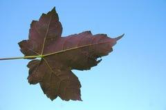 在天空蔚蓝的红色秋天 库存图片