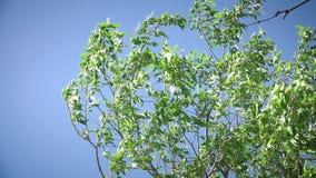 在天空蔚蓝的绿色树枝 股票录像