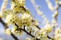 在天空蔚蓝的苹果树开花 库存照片