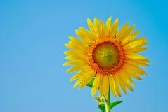 在天空蔚蓝背景和种子隔绝的向日葵 免版税库存照片
