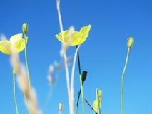 在天空蔚蓝背景照片图象的黄色鸦片 库存照片