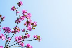在天空蔚蓝背景的杜鹃花花 库存照片