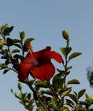 在天空蔚蓝背景的红色木槿花 库存图片