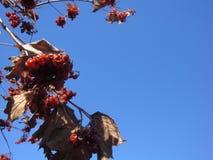 在天空蔚蓝背景的荚莲属的植物灌木 免版税库存照片