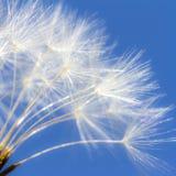 在天空蔚蓝背景的通风白色蒲公英 浪漫柔和的艺术性的图象 库存照片