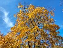 在天空蔚蓝背景的黄色树 免版税图库摄影