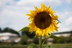 在天空蔚蓝背景的黄色花向日葵特写镜头与云彩和村庄大厦 免版税库存照片